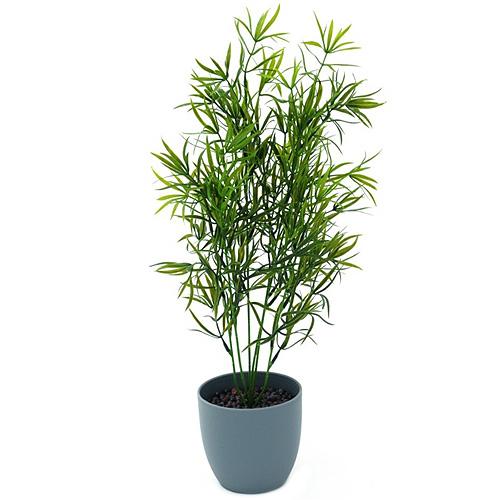 Asparagus Europalms výška 50 cm