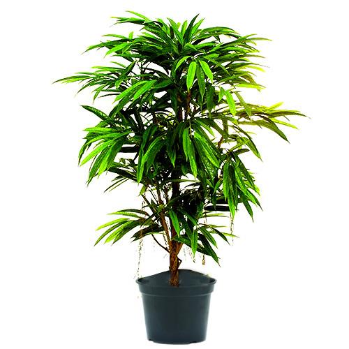 Fíkus Europalms Fíkus Longifolia, 150 cm
